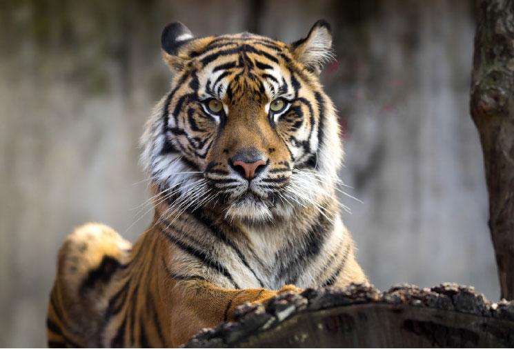 Starkes Immunsystem Tiger
